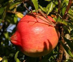 Punica - Wikipedia