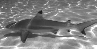 The biology and ecology of the blacktip reef shark Carcharhinus ...