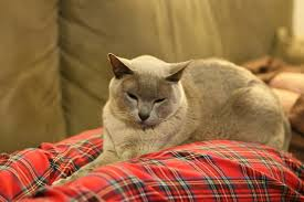11 Facts You Probably Don't Know About the <b>Burmese</b> Cat