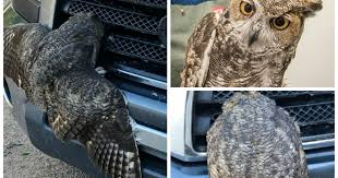 Owl rescued after getting hit, trapped in <b>car's front grille</b>
