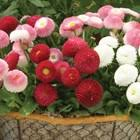 <b>Bellis</b> Belle 70 Plants | Jersey Plants Direct