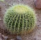 Images & Illustrations of barrel cactus