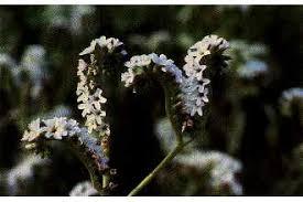 Plants Profile for Heliotropium curassavicum (salt heliotrope)