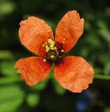 Papaver pinnatifidum (Mediterranean Poppy) : MaltaWildPlants.com ...