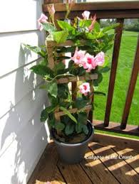 plant called mandevilla which is an annual that blooms the entire season and was purchased at the home depot fresh flowers on the deck from calypso bright ideas deck