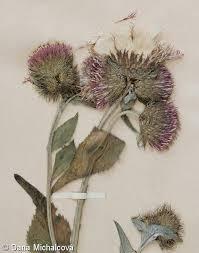 Carduus personata – bodlák lopuchovitý | Pladias: Database of the ...