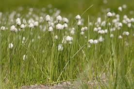 Eriophorum scheuchzeri - Wikipedia