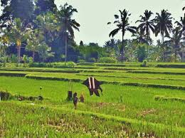 how green is thy bali a photo essay plans subject to change kite flying in a rice field