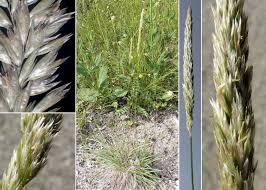 Koeleria%20splendens%20C.Presl - Portal zur flora des ...