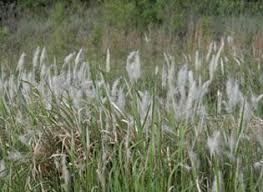 Cogongrass | National Invasive Species Information Center | USDA