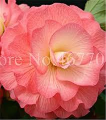 Bonsai <b>50 Pcs</b>/ <b>Bag</b> Exotic Rieger <b>Begonia</b> Beautiful Potted Multi ...