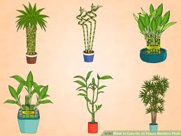 image titled care for an indoor bamboo plant step 1 best office plants no sunlight