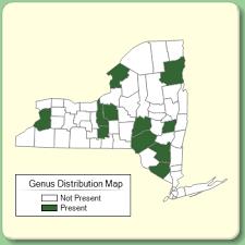 Echinops - Genus Page - NYFA: New York Flora Atlas - NYFA: New ...