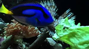 Resultado de imagen de fotos de peces azules y amarillos