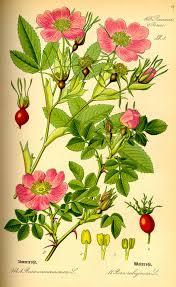 Rosa majalis - Wikipedia