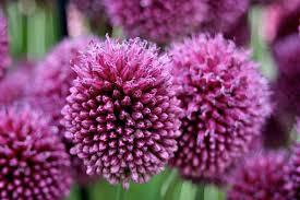 Allium sphaerocephalon - Wikipedia