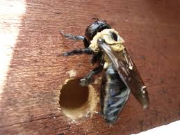 Image result for carpenter bee picture