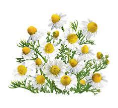<b>Ромашка</b>: лечебные свойства, польза, описание <b>растения</b>