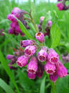 Images & Illustrations of comfrey
