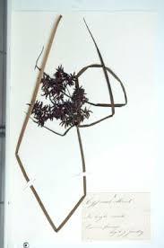Erbario Ariosto - Cyperus serotinus Rottb.