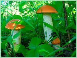 Картинки по запросу грибы съедобные несъедобные