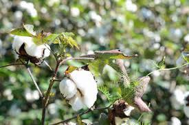 """Résultat de recherche d'images pour """"coton burkina"""""""