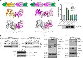 Differential affinity of FLIP and procaspase <b>8</b> for FADD's DED ...