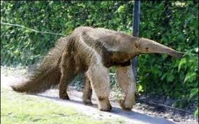 Image result for Anteaters protect their long claws by walking on: their knuckles