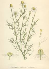 Matricaria - Wikipedia