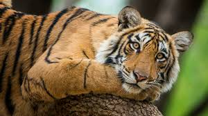 Why Tigers Find <b>Calvin Klein's Obsession</b> for Men Cologne So ...