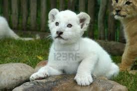 les lions blanc Images?q=tbn:ANd9GcStZUSVW0tKEarics_gsRLnhYg9GMCMY5_2ikjDbikecLtUIFWNxA