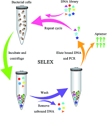 whole cell based aptamer selection for selective capture of 1 schematic showing the aptamer selection against live bacterial cells using whole cell selex