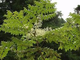 Araliaceae - Wikipedia