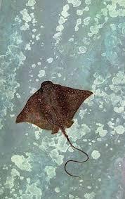 45 Best stingrays images | Sea creatures, Ocean creatures, Marine life