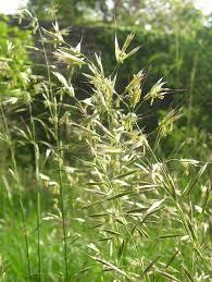 Avenula pubescens – Wikipédia, a enciclopédia livre