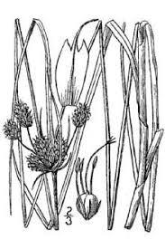 Plants Profile for Bolboschoenus maritimus (cosmopolitan bulrush)