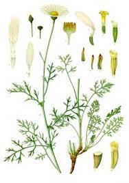 Tanacetum cinerariifolium Dalmation Pellitory, Pyrethrum PFAF ...