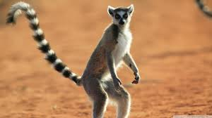 Image result for madagascar country lemurs