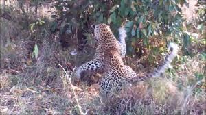 Watch intense death match between a giant python and a leopard ...