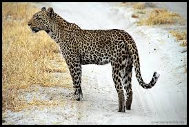 Image result for fauna en los paramos leopardos
