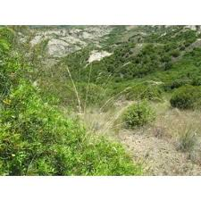 Genere Helictotrichon - Flora Italiana