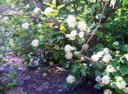 Image result for nine bark shrubs