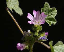 Malva nicaeensis All.   Flora of Israel Online