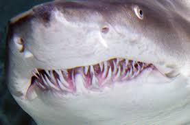 Image result for teeth of tiger shark