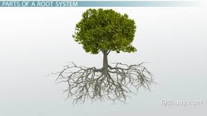 root system growth the root cap primary roots lateral roots root cap function definition
