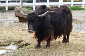 Domestic yak