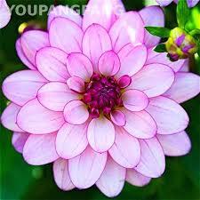 200 <b>Pcs</b> / <b>Bag Dahlia Flower</b> plants Mixed Colors <b>Dahlias</b> bonsai For ...