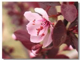 「紫葉矮櫻」的圖片搜尋結果
