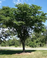 Ulmaceae - Wikipedia