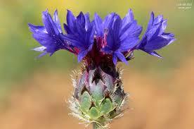 Centaurea depressa - Wikipedia